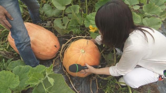 依那古地区で作った大きなかぼちゃ