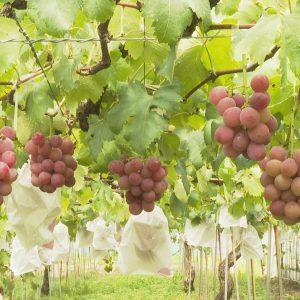 伊賀地域のブドウを取材してきました!